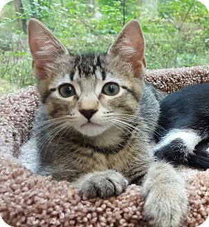 Domestic Shorthair Kitten for adoption in Chattanooga, Tennessee - Bowie