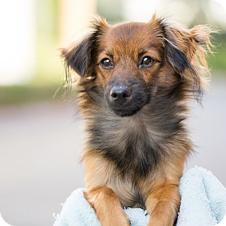 Pomeranian/Yorkie, Yorkshire Terrier Mix Puppy for adoption in Montclair, California - Little Bear