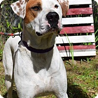 Pointer Mix Dog for adoption in Natchitoches, Louisiana - Russell