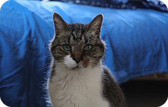 Oriental Cat for adoption in Jamestown, Michigan - Joey - $10 adoption fee