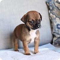 Adopt A Pet :: OF Gracie - San Diego, CA
