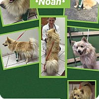 Adopt A Pet :: Noah - Fountain Valley, CA