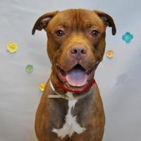Adopt A Pet :: Angus - Wantagh, NY