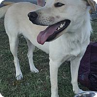 Adopt A Pet :: Libby - Tumwater, WA