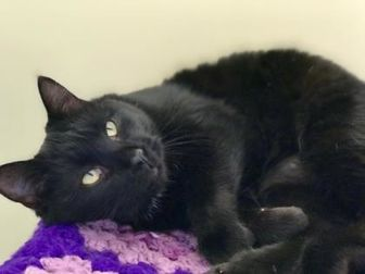 Domestic Shorthair/Domestic Shorthair Mix Cat for adoption in Buena Vista, Colorado - Honey
