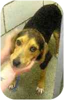 Beagle/Shepherd (Unknown Type) Mix Dog for adoption in Elwood, Illinois - Charlie PLEASE HELP