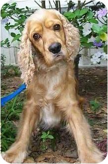Cocker Spaniel Dog for adoption in Sugarland, Texas - Brice