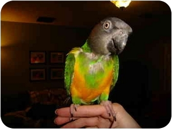 Poicephalus (including Senegal and Meyer's) for adoption in Redlands, California - Rudy