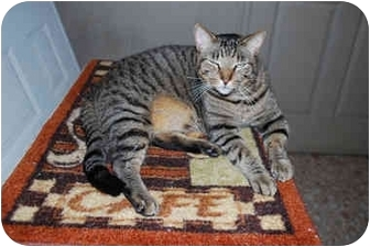 Domestic Shorthair Cat for adoption in Tampa, Florida - Charlie Jr.