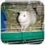 Photo 2 - Guinea Pig for adoption in Slidell, Louisiana - Snowflake