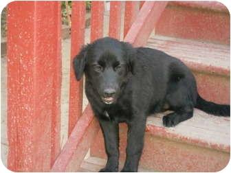 Retriever (Unknown Type)/Australian Shepherd Mix Puppy for adoption in Derry, New Hampshire - Kixx