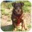 Photo 4 - Dachshund/Corgi Mix Puppy for adoption in Salamanca, New York - Morgan