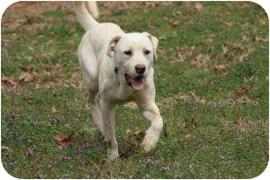 Labrador Retriever Mix Dog for adoption in Cranford, New Jersey - Valentino