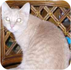 Domestic Shorthair Cat for adoption in Fayette, Missouri - Perfect Tommy