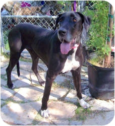 Great Dane Dog for adoption in Austin, Texas - Lucie
