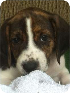 Hound (Unknown Type)/Bluetick Coonhound Mix Puppy for adoption in Orlando, Florida - Trout