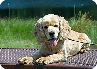 Cocker Spaniel Dog for adoption in Tacoma, Washington - Buddy