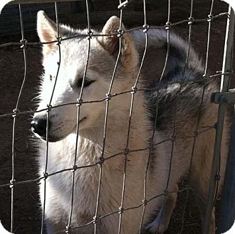 Husky Mix Dog for adoption in Rio Rancho, New Mexico - Sitka