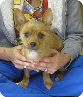 Yorkie, Yorkshire Terrier/Terrier (Unknown Type, Small) Mix Dog for adoption in Beacon, New York - Gingerbread Man