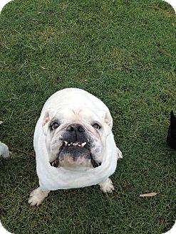 English Bulldog Dog for adoption in Gilbert, Arizona - Gus