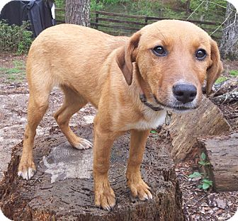 Coonhound Mix Puppy for adoption in Groton, Massachusetts - Malone