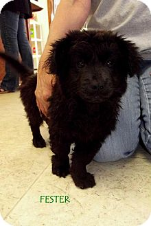 Chow Chow Mix Puppy for adoption in Silsbee, Texas - Fester