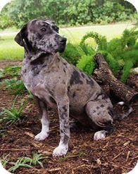 Catahoula Leopard Dog Mix Dog for adoption in Inverness, Florida - Sage