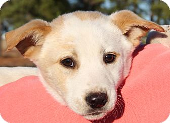 Collie/Labrador Retriever Mix Puppy for adoption in Pewaukee, Wisconsin - Axle
