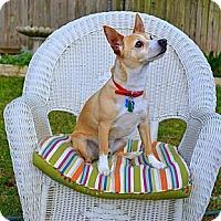 Adopt A Pet :: Trigger the Terrific Dog - plano, TX