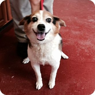 Beagle/Jack Russell Terrier Mix Dog for adoption in Florence, Indiana - Max