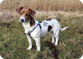 Jack Russell Terrier/Corgi Mix Dog for adoption in Bellingham, Washington - Bridget