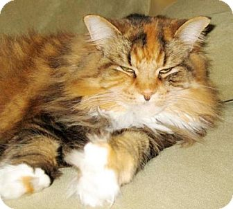 Maine Coon Cat for adoption in Oakland, California - Lily