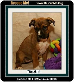 Boxer Mix Puppy for adoption in Saddle Brook, New Jersey - Trouble
