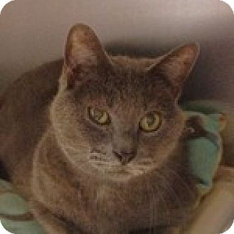 Domestic Shorthair Cat for adoption in Wheaton, Illinois - Cole