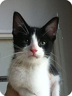 Domestic Shorthair Kitten for adoption in Hamilton, Ontario - Moe