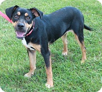 Hound (Unknown Type)/Rottweiler Mix Puppy for adoption in Newark, New Jersey - Clareece