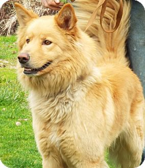 Golden Retriever/Shepherd (Unknown Type) Mix Dog for adoption in Grants Pass, Oregon - Yogi