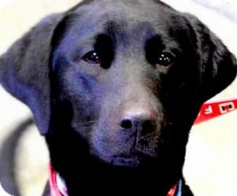 Labrador Retriever Dog for adoption in Wakefield, Rhode Island - HENRY(A FAMILIES BEST FRIEND!!