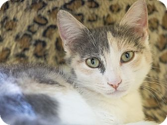 Calico Kitten for adoption in Los Angeles, California - Bundle