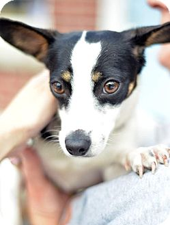 Chihuahua Mix Dog for adoption in Beacon, New York - Amelia