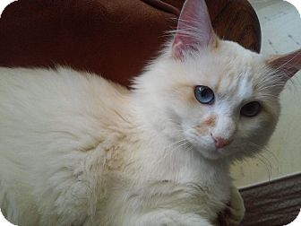 Domestic Mediumhair Cat for adoption in St. Louis, Missouri - Padraig