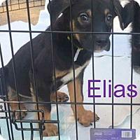 Adopt A Pet :: Elias - House Springs, MO