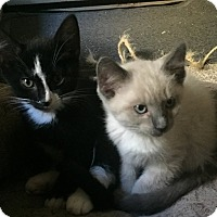 Siamese Kitten for adoption in Arlington, Virginia - Michelangelo & Ralphie