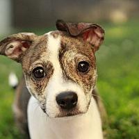 Adopt A Pet :: Spice - Romeoville, IL