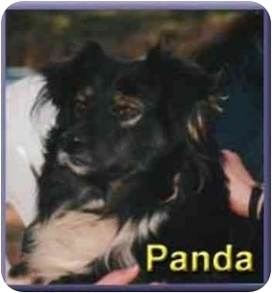 Sheltie, Shetland Sheepdog/Cavalier King Charles Spaniel Mix Dog for adoption in Aldie, Virginia - Panda