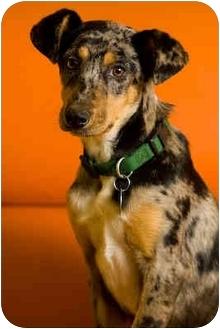 Catahoula Leopard Dog Mix Puppy for adoption in Portland, Oregon - Tripper