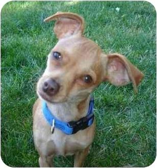 Miniature Pinscher/Chihuahua Mix Dog for adoption in petaluma, California - Nueve