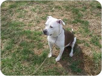 Pit Bull Terrier Mix Dog for adoption in Earleville, Maryland - Sheba