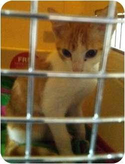 Domestic Shorthair Kitten for adoption in Haughton, Louisiana - Starbuck