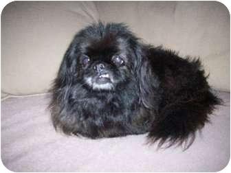 Pekingese/Pekingese Mix Dog for adoption in Richmond, Virginia - Shelia